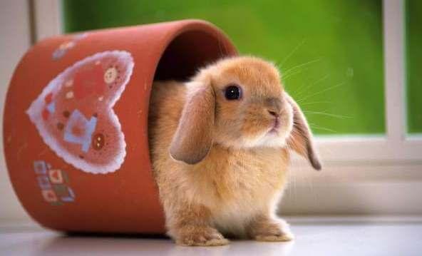 Разведение декоративных кроликов в домашних условиях для начинающих 815