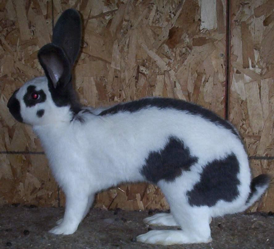 Строкач - порода кроликов