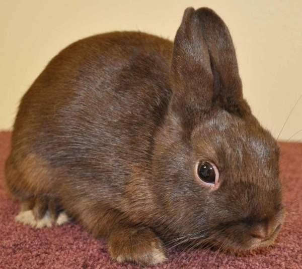 Декоративный карликовый кролик Нидерландской породы