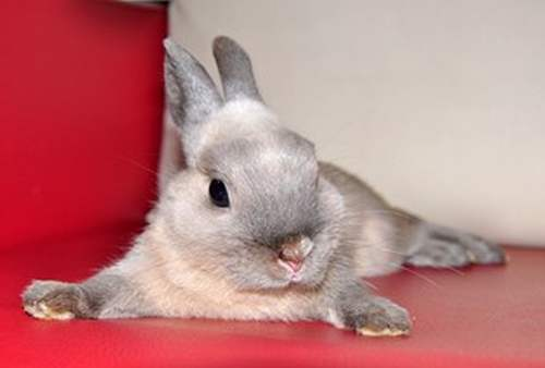 Декоративный карликовый кролик Нидерландской