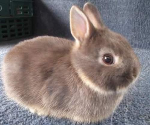 Декоративный карликовый Нидерландский кролик