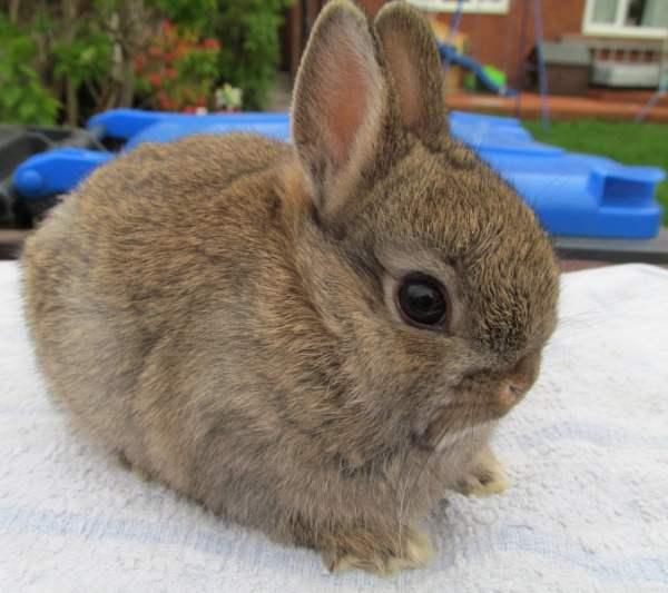 Декоративный карликовый кролик Нидерландской породы окрас агути