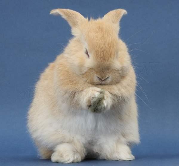 Инфекционный ринит кроликов
