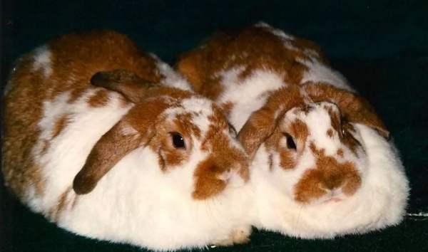 Кастрация и стерилизация кроликов - преимущества