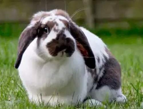 Кастрация кроликов - предосторожности