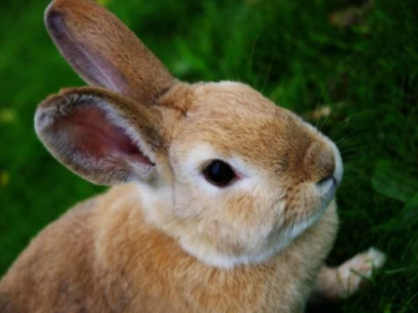 Заразный насморк кроликов