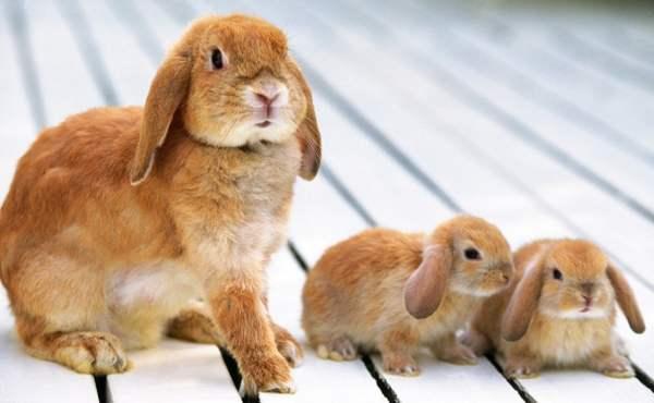 Самка Барана с крольчатами
