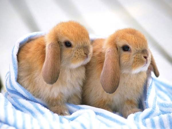 Разведение декоративных кроликов