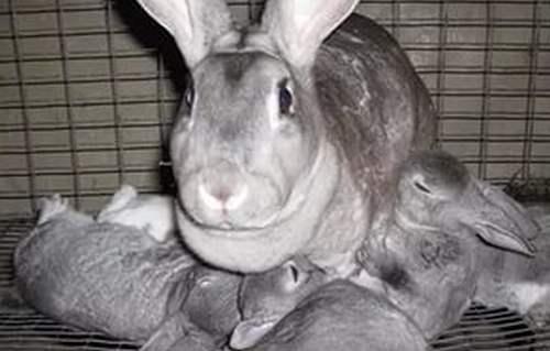 Крольчиха породы Рекс с крольчатами