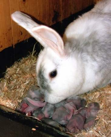 Самка с новорожденными крольчатами