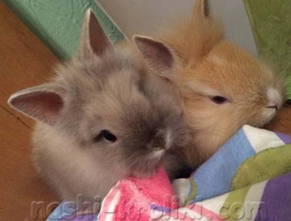 Разведение декоративных кроликов в домашних условиях для начинающих 986