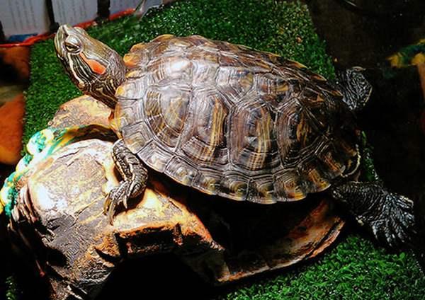 Красноухая черепаха домик