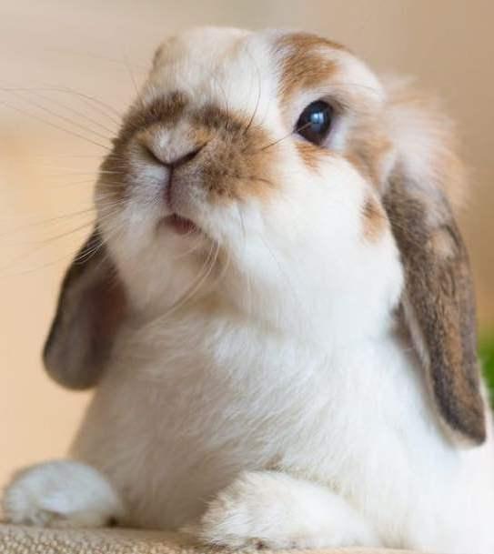 Картинки декоративные кролики